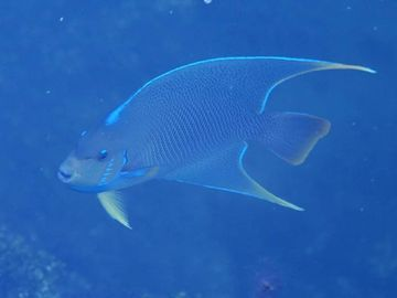Queen Angelfish in back yard boat basin