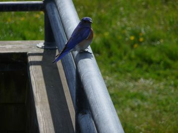 Mountain Bluebird on Deck Railing