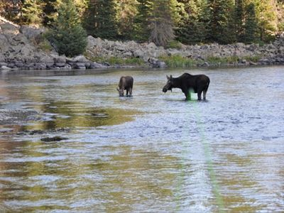 Moose and calf on the Henry's Fork, 15 min from cabin