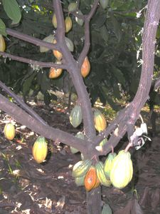 one of our cacao (chocolate) trees