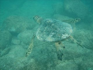 Kailua cottage photo - Swim with Turtles