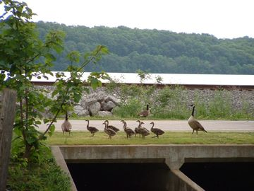 Geese checking out the creek