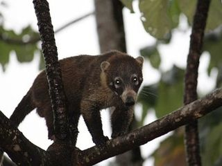 Ojochal villa photo - Coati friend climbing the trees