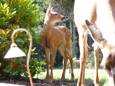 Fawn born in May