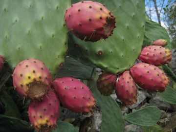 prickly pears in the garden