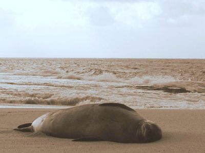 Endangered Hawaiian Monk seal seen occasionally on the beach behind our home!