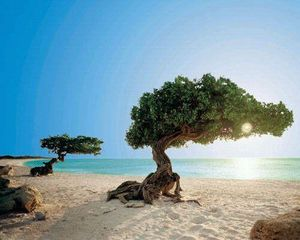 Aruba villa photo - The Famous Divi Divi Trees at The Spectacular Eagle Beach! just minutes away!!!!