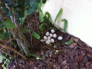 Crescent Lakes villa photo - muscovy duck eggs by the front door