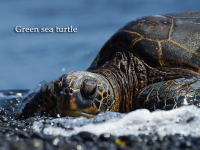 Kapoho studio rental - Green sea turtle, photo by former guest Clive Schaupmeyer