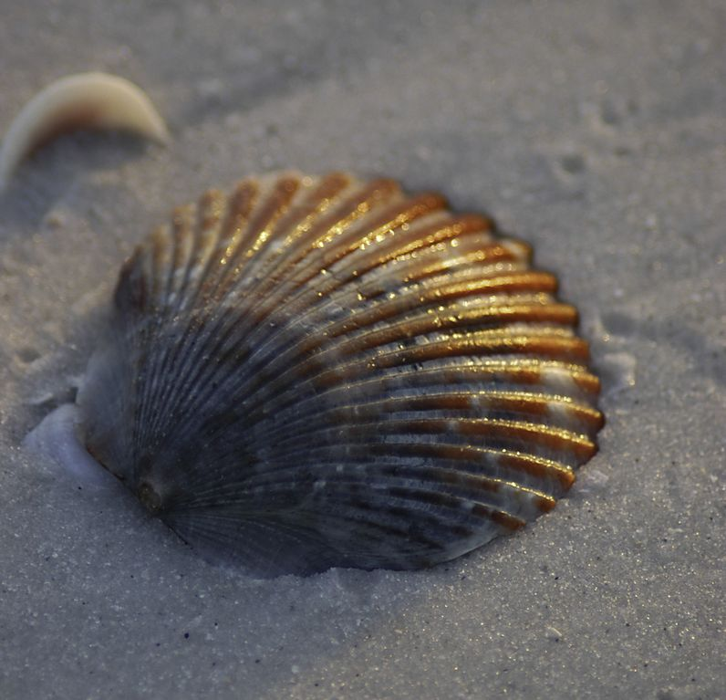 A scallop shell on the gulf beach. A ten minute walk from the Cottage.