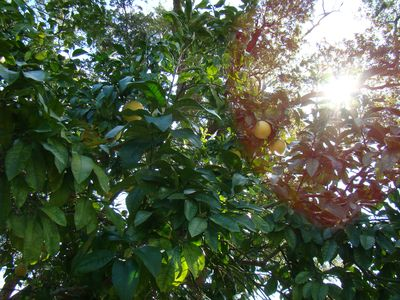 Abundant citrus trees throughout property
