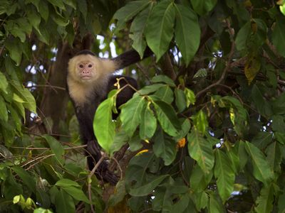 Ojochal villa rental - A curious friend White-faced Capuchin