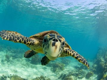 You will love seeing Honu turtles when by our condo.