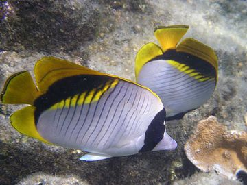 Angelfish come in a variety of colors. Photo by former guest Clive Schaupmeyer.