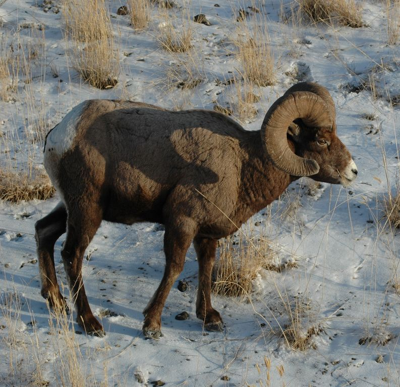 Ram right outside of Gardiner