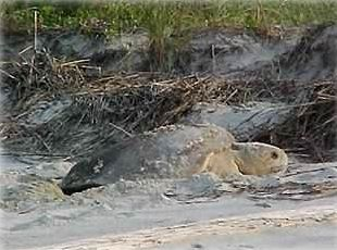 Darlene's pic of Loggerhead Turtle laying her eggs on Harbor Island