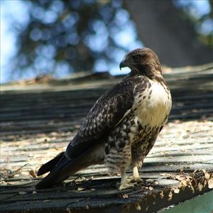 Wild Hawk on our roof, many birds hang out in our little canyon by the sea!!