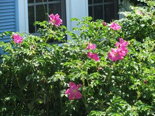 Wellfleet cottage photo - Beautiful Gardens