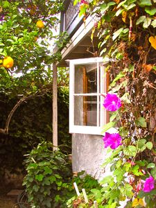 Lemons and morning glories hug the kitchen window