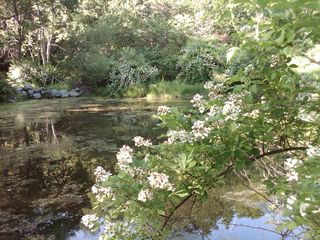 Patterson farmhouse photo - The Pond with Wild Roses and Mountain Laurel in bloom (Summer)