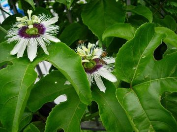 Beautiful passion flower, delicious fruit