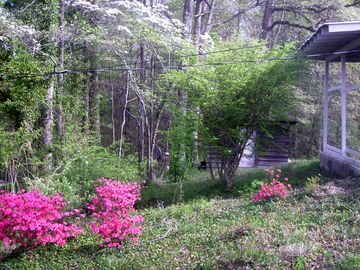 Beautiful Azaleas adorn the garden