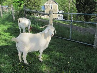 Lost River farmhouse photo - Pearl, queen of the resident goats