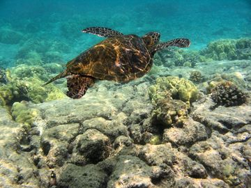 Kona offers the best snorkeling in Hawaii