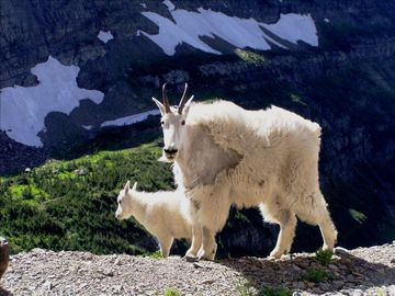 Mountain goats are a common site at Logan Pass.