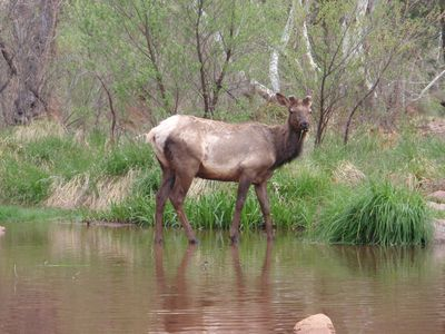 Payson cabin rental - Elk hanging out eating along the East Verde River.