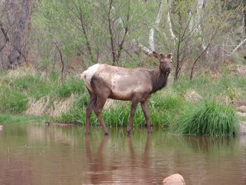 Elk hanging out eating along the East Verde River.
