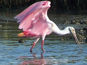 Cedar Key condo rental - Roseate Spoonbill feeding behind your balcony, near the fishing dock!