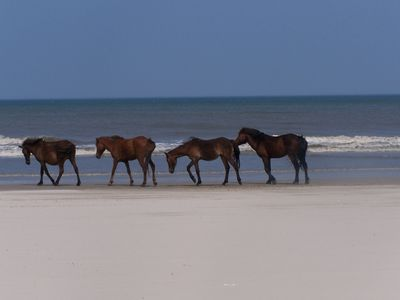 The wild horses of North Carolina