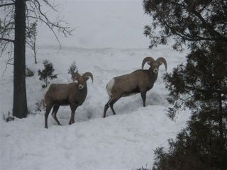 Big Sky chalet photo - Big horn sheep