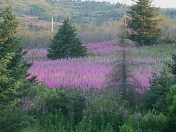 Homer apartment rental - Late July and early August can be the time to catch the fireweed bloom.