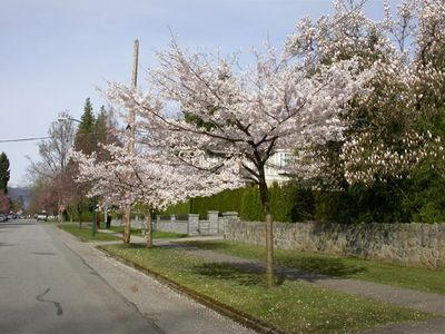 Beautiful neighborhood (spring cherry blossom)