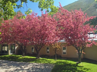 Gorgeous Crabapple Trees in Full Bloom with birds galore on the driveway side.