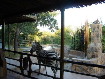 Zebra on the veranda