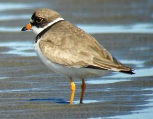 Lubec cottage photo - View shorebirds such as the Semipalmated Plover that frequent the Sand Bar.