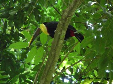Wild Toucans visit the property in the late afternoons.