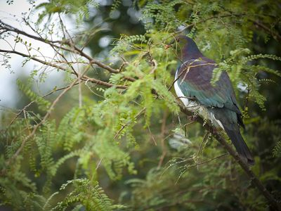 Native wood pigeon in the Kowhai tree in the garden