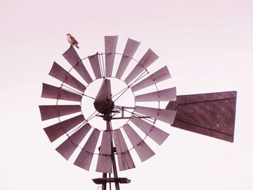 Red-trailed hawk on broken spoke windmill