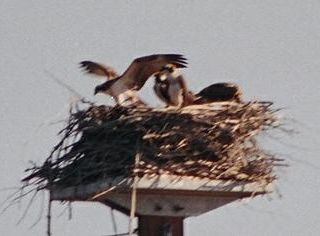 Lake Winnisquam cottage photo - Our osprey nest providing endless hours of viewing from the cabin
