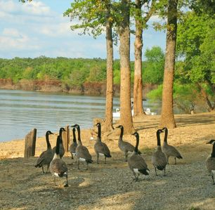 Resort's 2-miles of pristine shoreline on Lake Texoma with resident Canada Geese