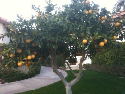 Grapefruit trees near the front of our home
