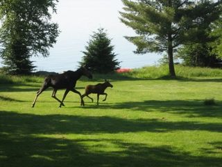 Tomhegan cabin photo - Summer 2008 Moose on front lawn!
