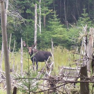 One of many wildlife neighbors, Mr. Moose