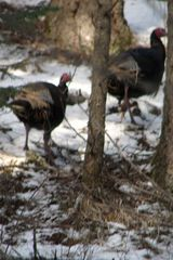 Noxon cabin photo - Turkey time!