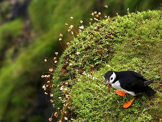 Oban, Isle of Mull & Lorn cottage photo - FRIENDLY PUFFIN ON ISLE OF STAFFA