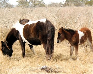 Famous Chincoteague Wild Ponies, The PonyIsland Luxury Waterfront Rental Home